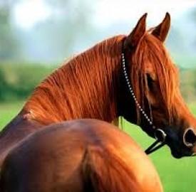 اسب ها نجیب زادگانی باهوش در میان حیوانات