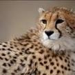 کوشکی یوزپلنگ ایرانی و خطری به بزرگی انقراض !