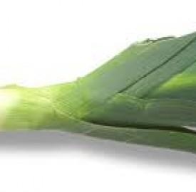 تره فرنگی نوعی سبزی ولی با همان طعم و بوی سیر و پیاز
