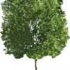 چنار درختی متفاوت با کلی خواص دارویی و درمانی جالب !