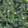 گیاه خارخاسک و فواید درمانی که در طب سنتی دارد