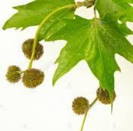 چنار درختی با فواید متعدد در حوزه طب و درمان !