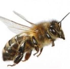 زهر زنبور جواهر کشف جدید محققان در درمان پارکینسون