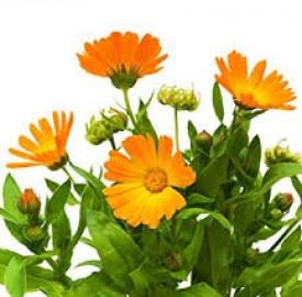 گل همیشه بهار از ویژگیها تا خواص شگفت انگیز آن