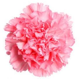 گل میخک گلی با دو کاربری زیبایی و درمانی !