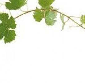 برگ درخت انگور نوعی ضدعفونی کننده با خواص متعدد