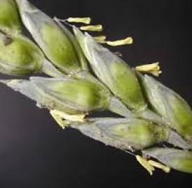 گل گندم و تمامی خواص مهم این گیاه دوست داشتنی