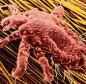 شپش ناحیه تناسلی و اهمیت درمان مناسب برای این بیماری