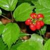 جنسینگ و اطلاعاتی مفید راجع به این گیاه دارویی