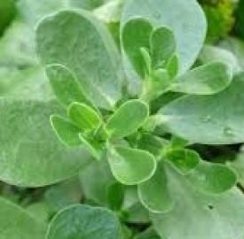 گیاه خرفه و خواص جالب توجه آن در طب سنتی
