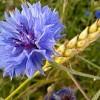 با گل گندم می توانید عارضه های بدن را درمان کنید !