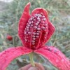 لگجی نوعی گیاه ناشناخته و بومی با فواید گوناگون !