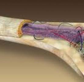 استخوان و ترکیبات اصلی این بافت زنده در بدن ؟
