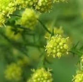 درمنه و اطلاعاتی مهم درخصوص این گیاه دارویی !