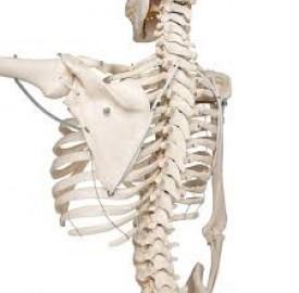 اسکلت بدن و شناخت بیشتر آن در علم آناتومی !
