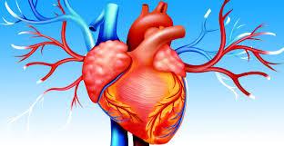 قلب ماهیچه ای سیصد گرمی در بدن