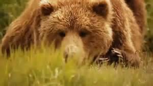 حیات خرس های گریزلی در کناره های اقیانوس آرام