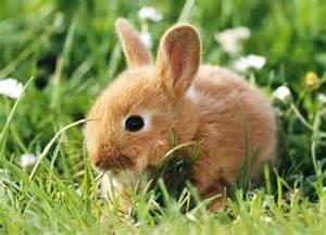 خرگوش ها در خطر انقراض قرار نمیگیرند