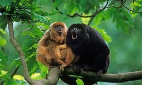 مستندی کوتاه از میمون های کارایا نگهبانان طبیعت