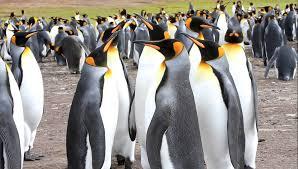 شاه پنگوئن بزرگترین گونه ی پنگوئن های قطب جنوب