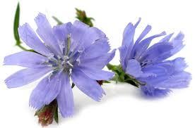 کاسنی جزو گیاهان دارویی قابل یافت در هر عطاری !