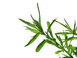 ترخون را به عنوان یک سبزی و گیاه دارویی می شناسند !