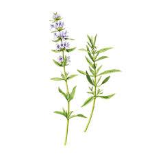 زوفا گیاهی با نام علمی Hyssopus Officinalis و طبعی گرم و خشک