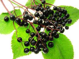 آقطی سیاه گیاهی دارویی که به انگور کولی معروف است !