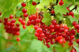 آملا یا انگورفرنگی شهره به قدرتمندترین میوه در جهان !