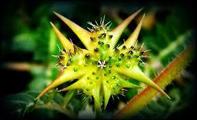 خارخاسک گیاهی دارویی و مؤثر در کاهش قند خون !