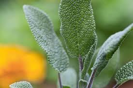 مریم گلی گیاهی آرام بخش برای مقابله جدی با استرس