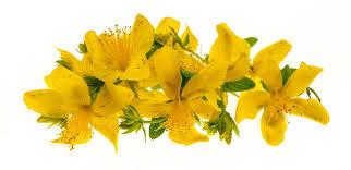 هوفاریقون گیاهی بینظیر با تأثیرات درمانی متعدد !