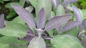 مریم گلی و فواید مختلف این گیاه در طب سنتی
