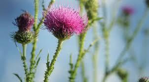 خار مریم نوعی گیاه دارویی با 10 خاصیت بی نظیر