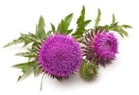 خارمریم و شناخت هرچه بیشتر این گیاه دارویی