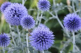 شکر تیغال و آشنایی هرچه بیشتر با این گیاه دارویی !