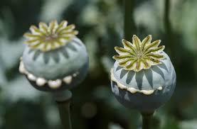 خشخاش گیاهی علفی با خواص دارویی گوناگون