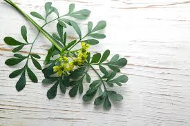 گیاه سداب و تأثیرات این گیاه در درمان سرطان !