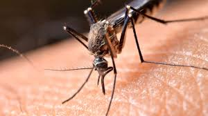 پشه و گیاهان مؤثر برای دفع این حشرات موزی