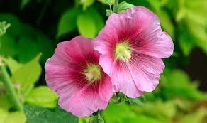 گل ختمی و اطلاعاتی درباره خواص این گیاه