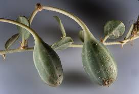 گیاه کبر و فواید درمانی متعدد این گیاه دارویی !