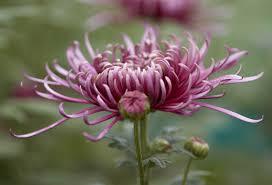 گل داوودی و خواص متعدد این گیاه درمانگر !