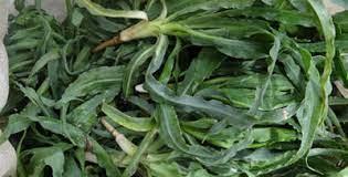 گیاه شنگ و آشنایی با خواص دارویی آن